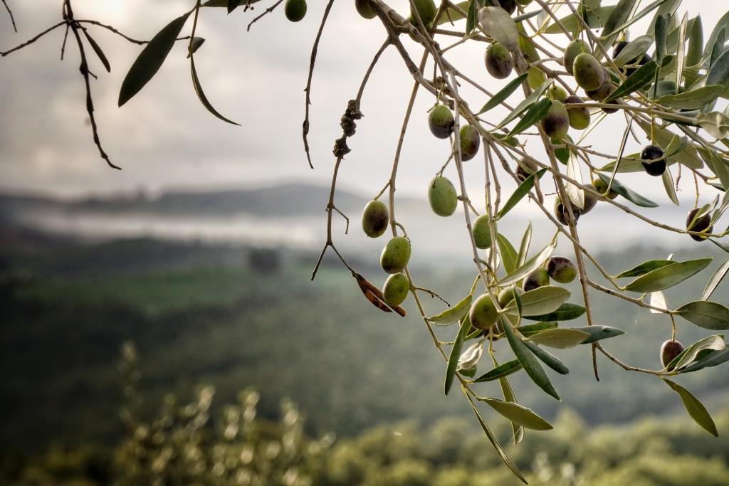 Fattoria La Maliosa olive