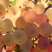 vini-naturali-La Maliosa